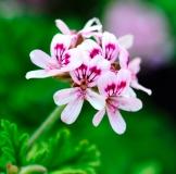Cintronella Flower Picture jpg.jpg