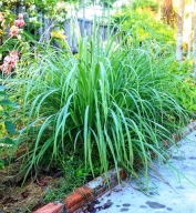 Lemongrass In the Garden jpg.jpg